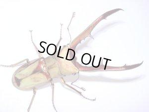 画像1: サンギレンシスホソアカクワガタ幼虫