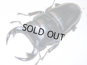 画像1: グランディスオオクワガタ幼虫