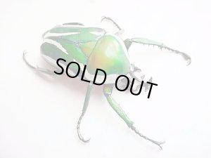 画像1: シロヘリミドリツノカナブン幼虫