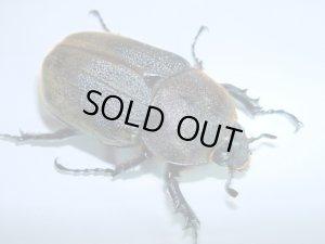 画像1: ヘラクレスオオカブトムシ成虫