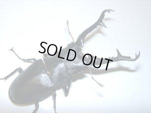 画像1: ギラファノコギリクワガタ幼虫ペア