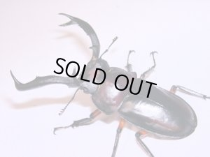 画像1: ディディエールシカクワガタ幼虫