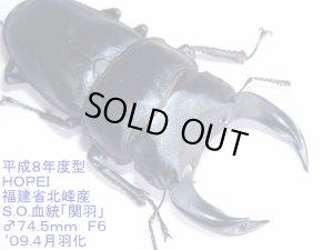 画像1: 福建省北峰産(関羽血統)ホーペオオクワガタ幼虫