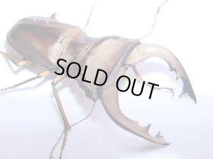 画像1: プルケルスホソアカクワガタ幼虫