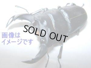 画像1: 平成8年型ホーペオオクワガタ幼虫