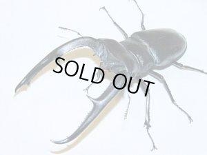 画像1: マンディブラリスフタマタクワガタ幼虫