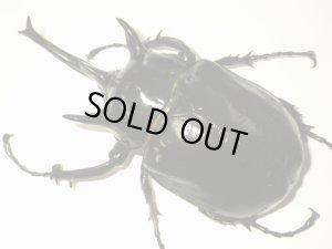 画像1: マルスゾウカブトムシ成虫(特大個体)