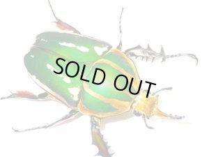 画像1: ウガンデンシスオオツノカナブン幼虫