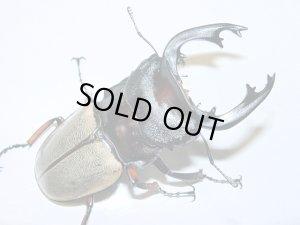 画像1: フェモラリスツヤクワガタ幼虫