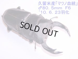 画像2: 大型オオクワガタ幼虫(マツノ血統)