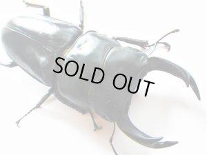 画像1: 大型オオクワガタ幼虫(信玄血統)