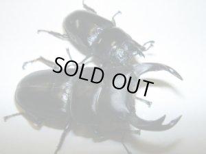 画像1: 富山県産オオクワガタ幼虫